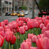 Pink tulips growing on Park Ave in Manhattan