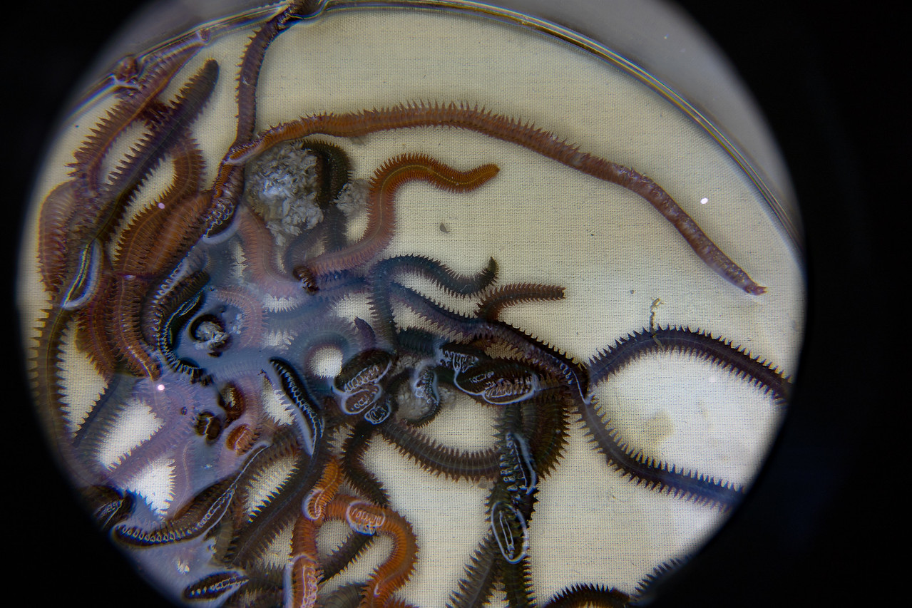 Polychaetes seen through a magnifier.