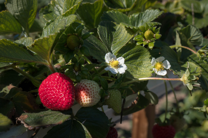 Tanaka Farms strawberries