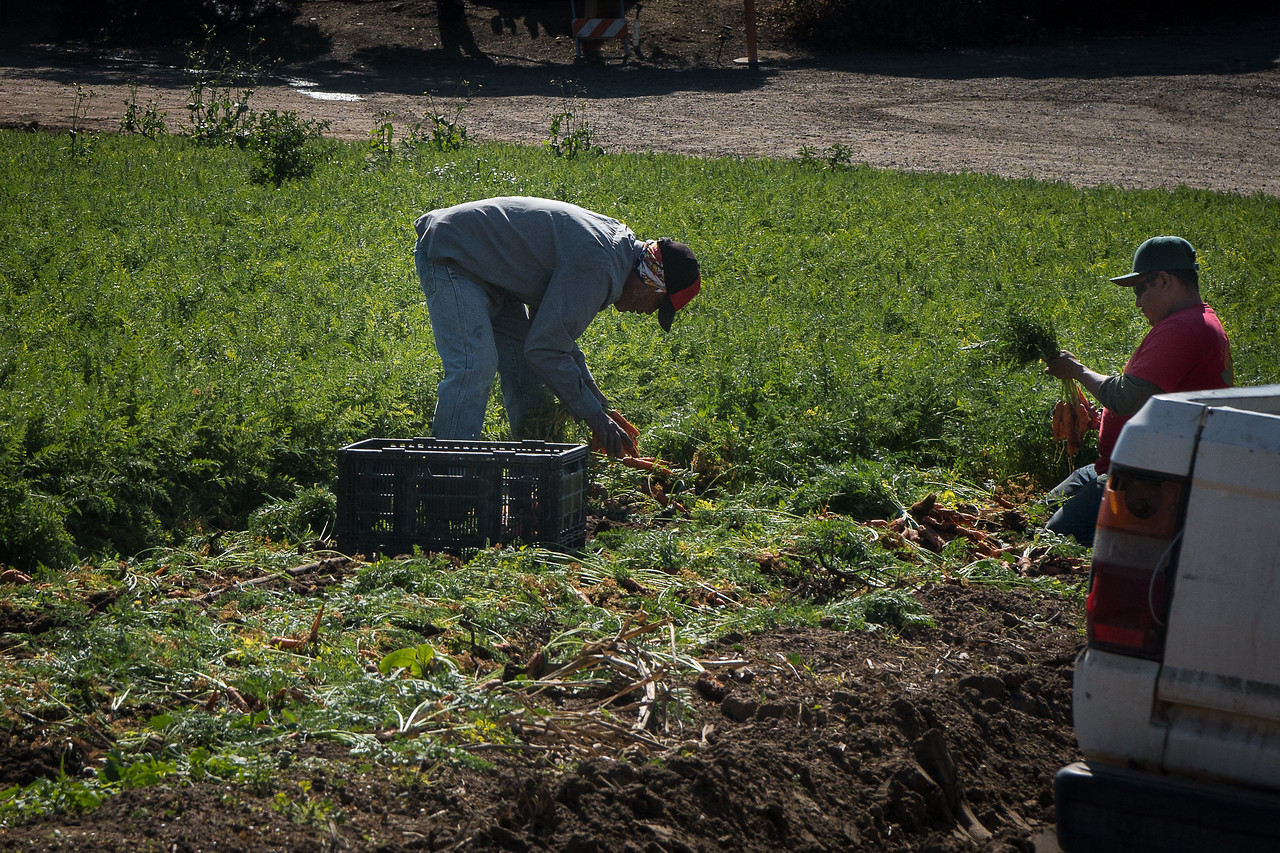 Harvesting carrots at Tanaka Farms