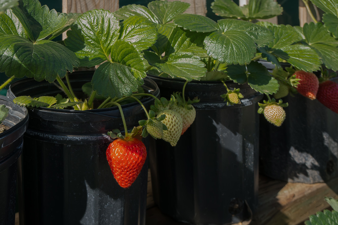Strawberry Plants on sale at Tanaka Farm