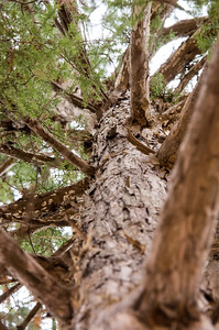 Pine Tree Up