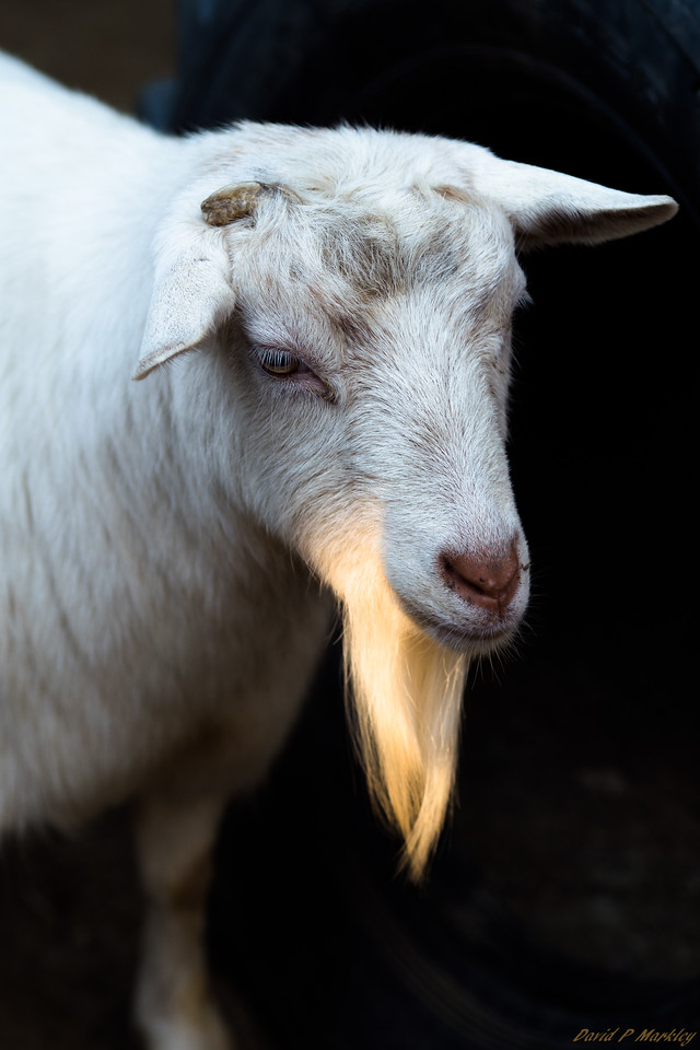 Sunny Goatee