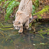 Bobcat fishing