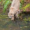 Bobcat fishing