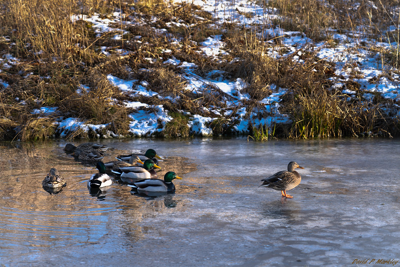 Duck Leadership