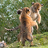 Tiger Cub Play Fighting