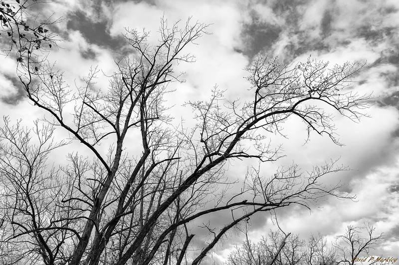 Bald Branches