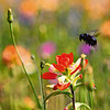 Black Carpenter Bee