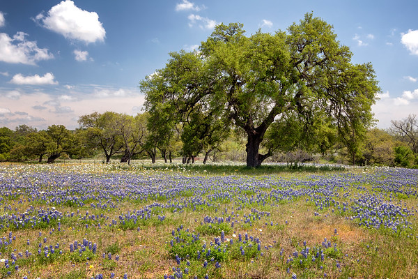 Bluebonnets along the Willow Loop