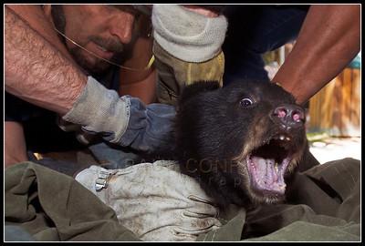 Captured Cub