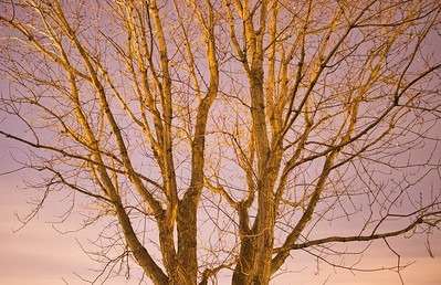 New Moon Deciduous Tree