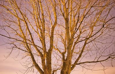 New Moon Deciduous Tree