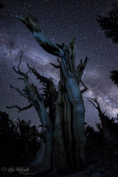 Before mankind - Bristlecone Pine Forest, White Mountain, CA