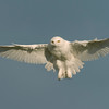 Snowy Owl Hovering #1  El Paso County, Colorado