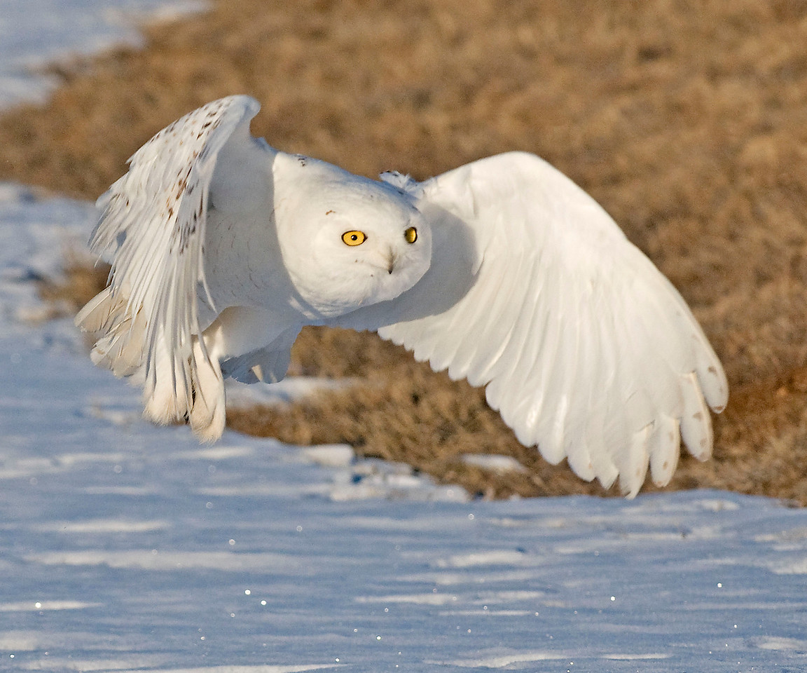 Snowy Owl with Prey #2  El Paso County, Colorado