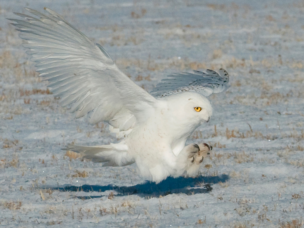 Snowy Owl Hunting  El Paso County, Colorado
