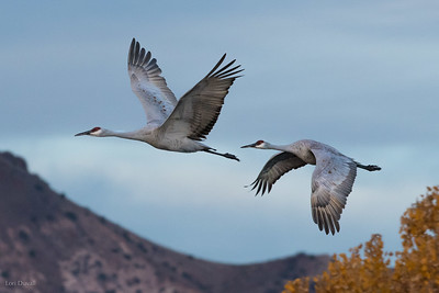 Sandhill Fly-by