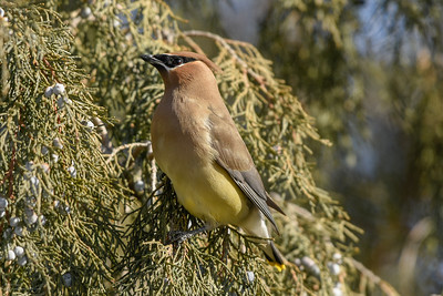 Lovely Winter Waxwing