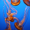 Luminescent Jellyfishes, Monterrey Aquarium, California (2008) © Copyrights Michel Botman Photography