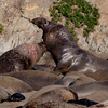 Bull Fight - Seal Bites Seal