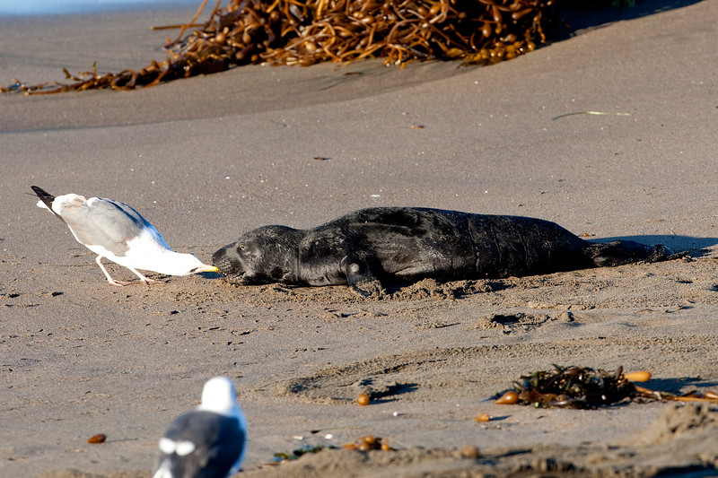 Sea Gull Pesters a Newborn Pup