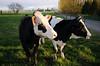 Cows - Skagit Valley, WA
