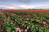 Tulip Field - Skagit Valley, WA