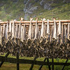 Stockfish drying