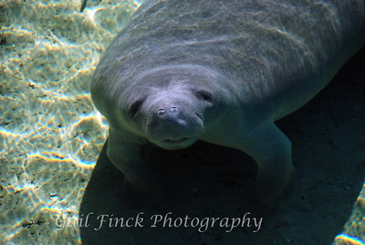 BLUE SPRING STATE PARK - A natural spring where manatees winter over in the constant 72-degree water