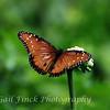 Queen (Milkweed) Butterfly (Danaus Gillipus)
