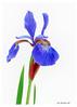 302 Blue Iris