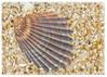 122scallop-shell