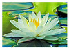317 pond lily proof