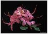 361-summer-azalea
