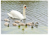 Swan and her cygnets-card