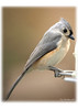 403 Tufted Titmouse