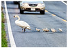 Swan with cygnets stopping traffic