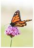 398-Monarch