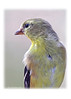 404 Goldfinch proof
