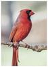 437 Cardinal In Winter