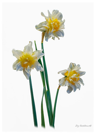 349-narcissus-in-White