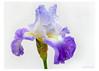307Bearded Blue Iris