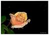 366-late-summer-rose