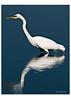 418 White Egret in Flight