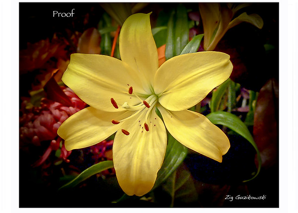 339 Yellow Delight proof