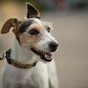 Jack Russell Terrier - Austin, Texas