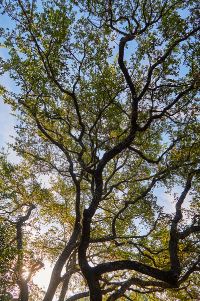 Live Oak Tree - Austin, Texas
