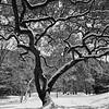 Snow Covered Tree - Austin, Texas