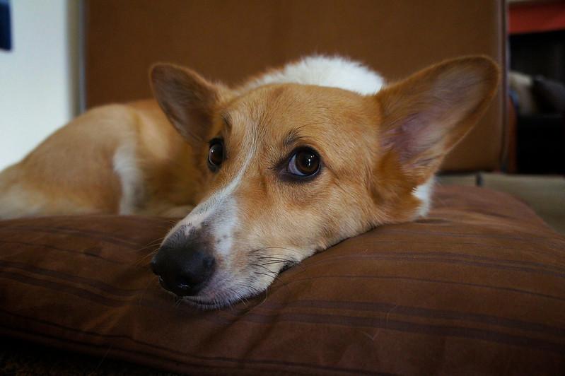 Lucky on Dog Bed - Austin, Texas